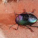 Chalcopterus Beetle (True Darkling Beetle)