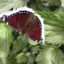 Mourning Cloak.Camberwell Beauty / Траурница