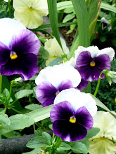 Photo: Pansies