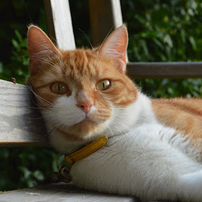 What?! by Mishka Lofthouse - Animals - Cats Portraits ( look, expression, orange, cat, bench, ginger, stare, glare, white, shock, eyes, pet, greenery, facial expression, summer, feline, garden )