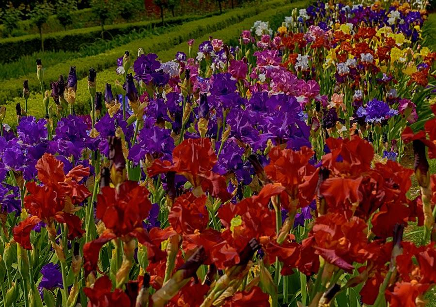 Colours by Radu Eftimie - Flowers Flower Gardens ( irises,  )