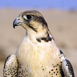 Farha Falcon by Ingrid Anderson-Riley - Animals Birds (  )