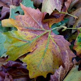 Autumn Colour - 2018 - 3 by Gillian James - Nature Up Close Leaves & Grasses ( macro, leaves, fall, autumn, leaf )