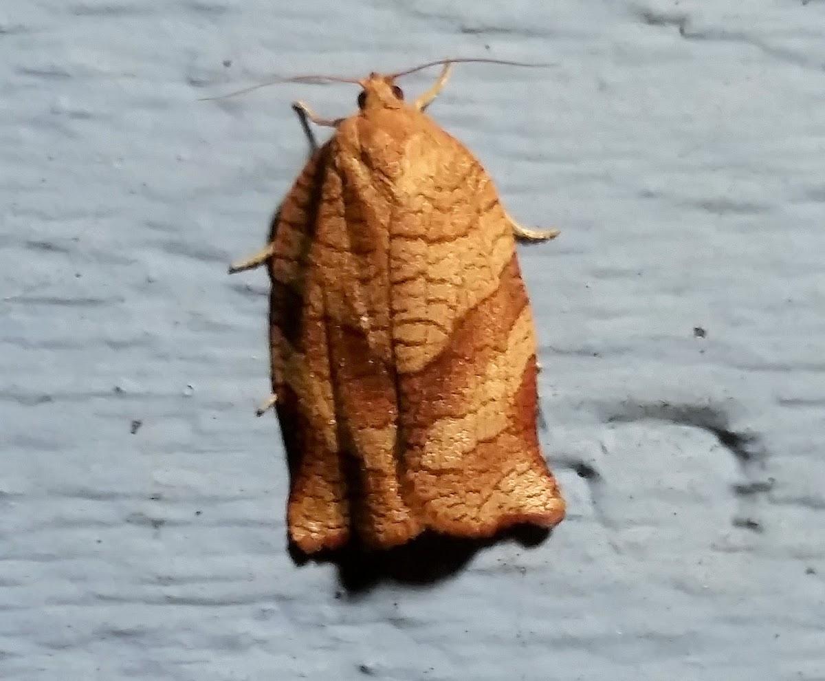 Pandemis Leafroller Moth