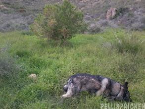 Photo: Rozz hittar frodigt grönt gräs. Han var tvungen att smaka på det. Gott, saftigt och gott