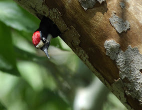 Photo: Adult male Acorn Woodpecker at a sycamore cavity, Madera Canyon, Arizona