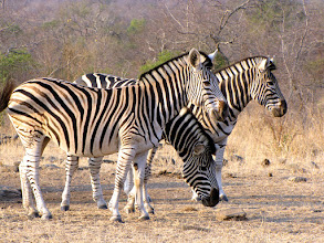 Photo: Kruger NP - zebras