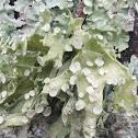 Sinewed Bushy Lichen