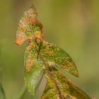 Dandelion Rust