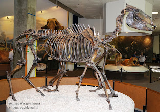 Photo: Western Horse (Equus Occidentalis) Horses evolved in North America about 50 million years ago and survived until about 11,000 years ago. The western horse was one of the last horse species native to North America. (All horses now in the Americas were imported from Eurasia after Columbus' discovery.)