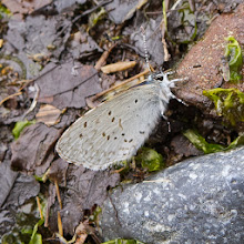 Photo: Silvery blue Glaucopsyche lygdamus photo by: Susie Fitzough