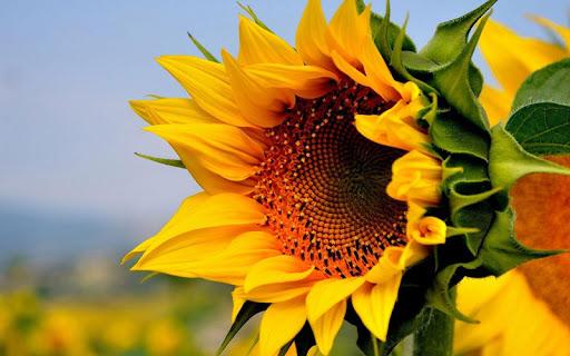 生活必備免費app推薦|太陽の花のライブ壁紙線上免付費app下載|3C達人阿輝的APP