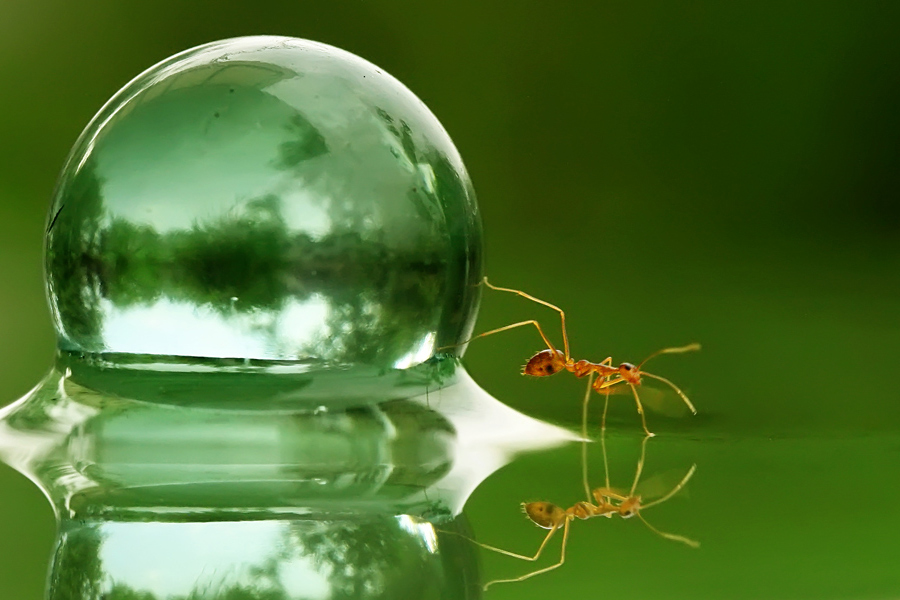 ReflectiANT #1 by Teguh Santosa - Animals Insects & Spiders ( reflection, macro, ants )