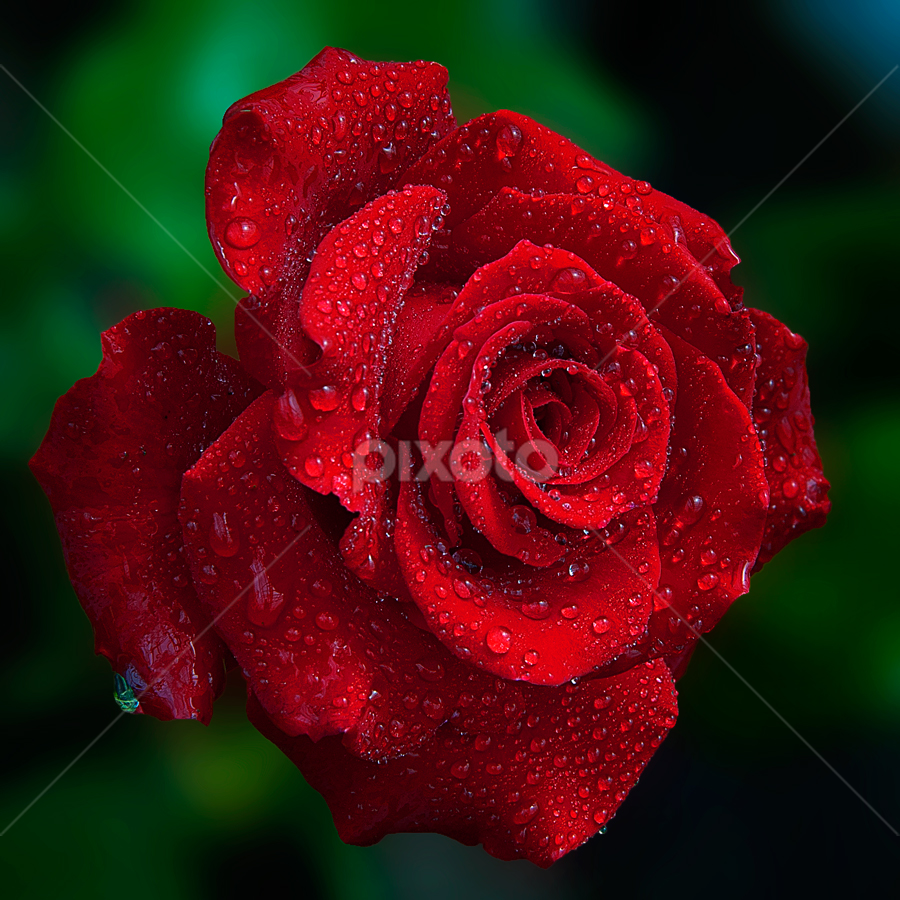 Red Rose by TEDDY ZUSMA - Nature Up Close Flowers - 2011-2013
