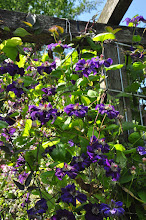 Photo: Clematis 'Happy Birthday' habitus 1