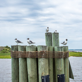 by Thomas Shaw - Animals Birds ( sky, north carolina, rope, nikon d7200, clouds, wast coast, birds, water, nikon, coast, wings, beach, wood, animals, photography )