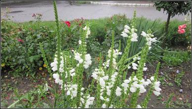 Photo: Lumânărica albă (Physostegia virginiana) - din Turda, de pe Str. Trandafirilor - 2018.07.08