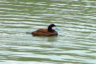 Photo: North American Ruddy Duck