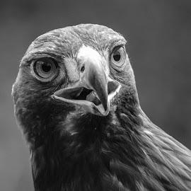 Goldie by Garry Chisholm - Black & White Animals ( bird, garry chisholm, eagle, nature, black and white, wildlife, prey, raptor )