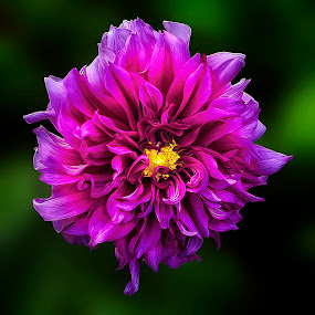 light of purple by Fadly Shaputra - Nature Up Close Flowers - 2011-2013