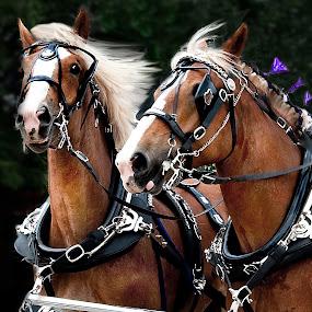 Team of Belgian Stallions by Irene Orloff - Animals Horses