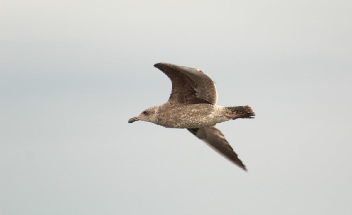Western gull - 1st winter