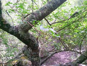 Photo: Poison oak berries