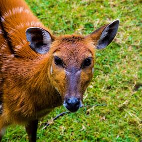 Cute Sitatunga by Thurisaz Photography - Animals Other Mammals ( outdoor, pretty, mammal, antelope, animal, exotic, prague, zoo, nice, sitatunga,  )