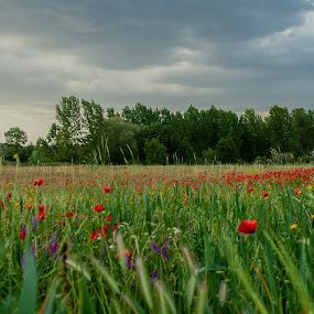 Field of flowers by José M G Pereira - Landscapes Prairies, Meadows & Fields ( flowers, fields, trees, prairie, field flower, landscape )