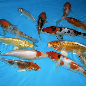 Koi Fishes by Lye Danny - Animals Fish
