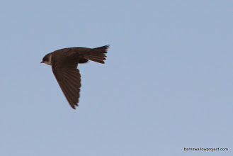 Photo: Sand martin in flight