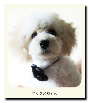 トイプードル(子犬・パピー)のマックスちゃん