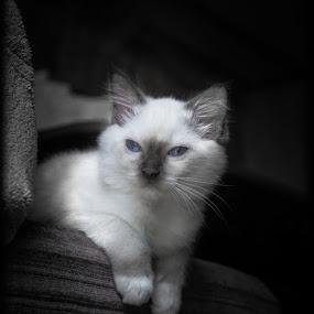 Ragdoll kitten by Annelie Hallberg - Animals - Cats Kittens