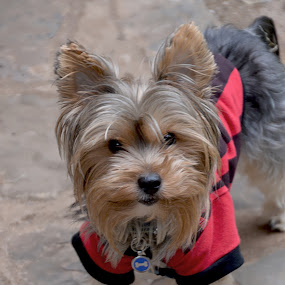 KenZi by Danette de Klerk - Animals - Dogs Portraits ( yorkie, yorkshire terrier, dog, friend, animal,  )