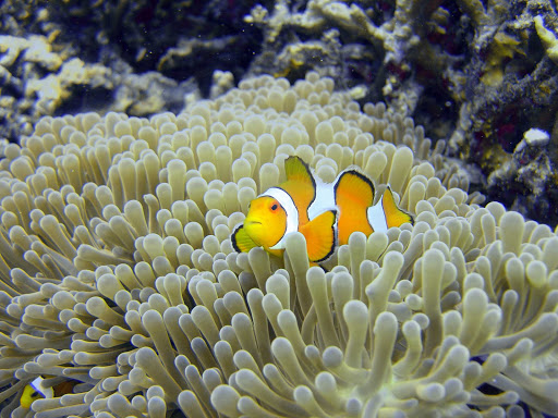 Snorkel the blue bays of Tonga and see brilliant tropical fish, including clownfish.