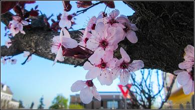 Photo: Corcodus ornamental rosu  (Prunus cerasifera Nigra) - din Piata 1 Decembrie 1918 - 2017.04.09