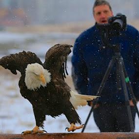 Amazed by Capt Jack - Animals Birds ( cool, awe, eagle, amazed, alaska, bald eagle, fun, delighted, shock, photographers, taking a photo, photographing, photographers taking a photo, snapping a shot )
