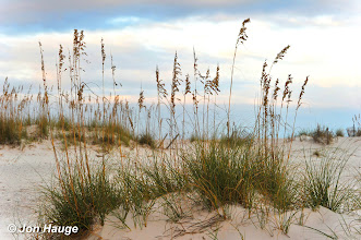 Photo: Sea oats and sand dunes in Gulf Shores, Alabama on Wednesday October 12,2011.