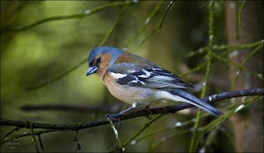 Photo: Bird N°20:  Chaffinch ♂  Latin: Fringilla coelebs