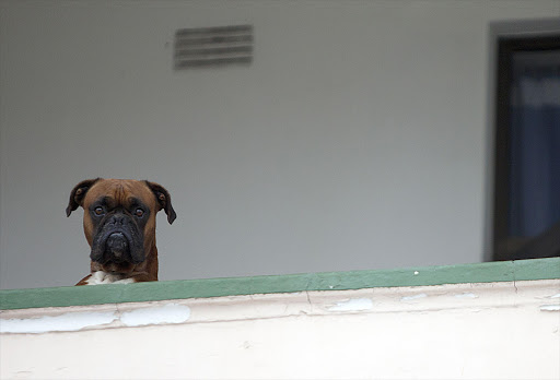 A  dog  checking out the street from the first floor of a flat in Mosselbay. File photo.