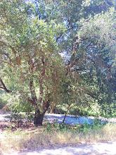 Photo: Mature coast live oak.
