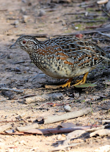 Barred buttonquail Calls screenshot 1