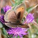Meadow Brown; La Loba