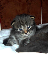 Photo: Roco - black tabby (19 días)