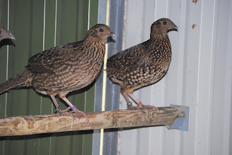 Photo: 2 different Tragopan temmincki female hatch 2010 - see different colored flatbands for different bloadlines