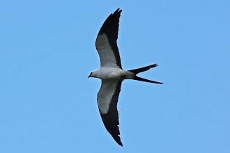 Photo: Swallow-tailed Kite