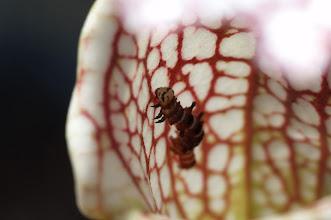 Photo: Exyra semicrocea larvae in Sarracenia leucophylla. Photo: Thomas Carow.