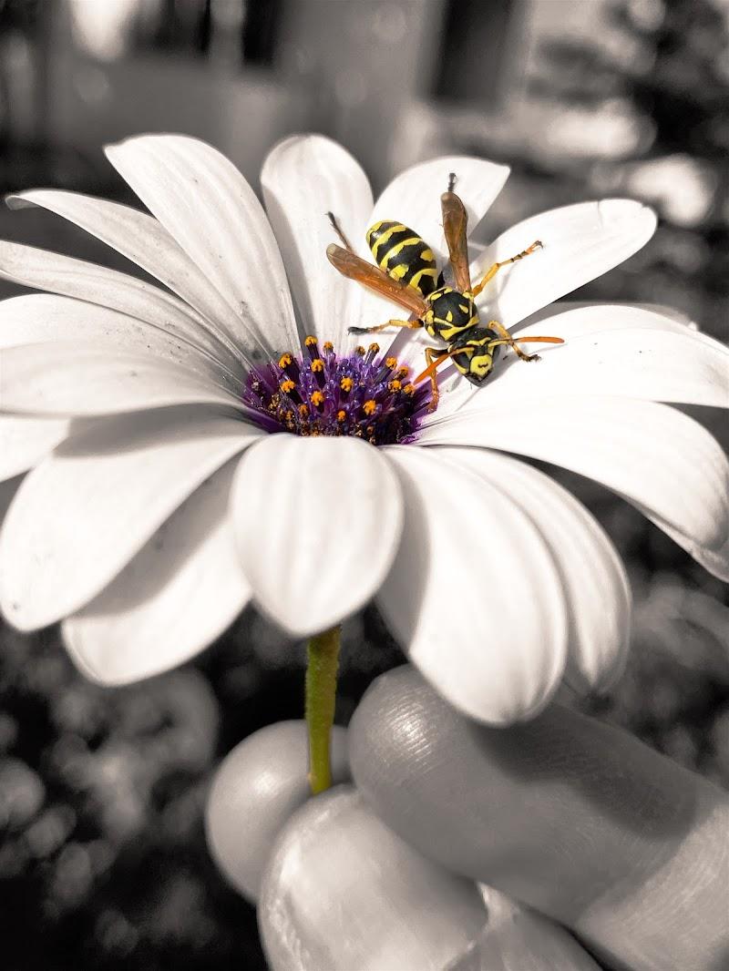 Sul fiore... di Antoniofestantephoto