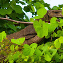 Bengal Monitor Lizard, common Indian monitor