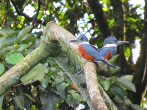 Photo: A pair of Ringed Kingfishers